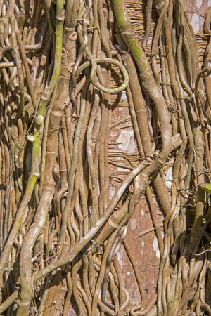 Strangling fig tree roots and vines wrapped around old tree in Pacific Mexico