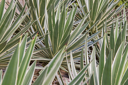 Bed of ornamental spiked agave leaves