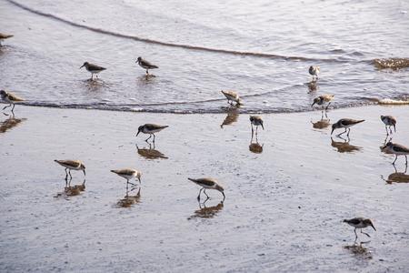 Seabirds feeding on a Pacific Ocean seashore in Mexico Imagens - 112728189