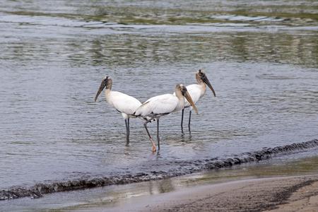 Wood storks in the ocean near Puerto Vallarta, Mexico