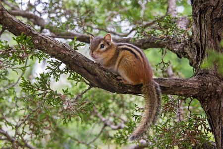 Eastern chipmunk perched on a cedar tree branch