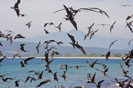 Frigate birds in a feeding frency over the Mexican Pacific Ocean. Guayabitos, Nayarit