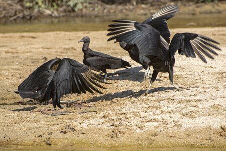 Vultures by the Pacific Ocean near Puerto Vallarta