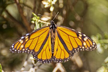 Monarch butterfly with open wings, Michoacan, Mexico