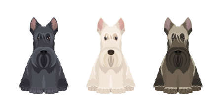 Portraits of three scottish terriers in different colors isolated on white background. Vector dogs collection for your design. Black, white and brown Ilustración de vector