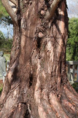 Dawn redwood tree trunk