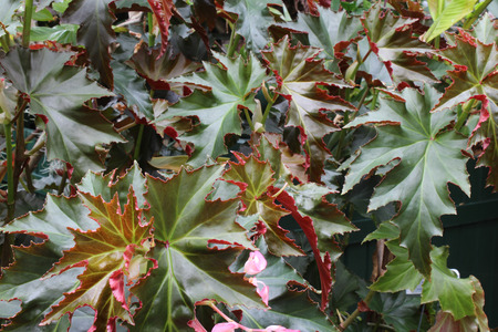 Green palmate leaves with red back sides Stock Photo