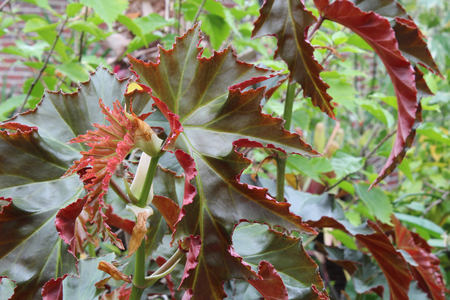 Bi-color palmate leaves in red and green