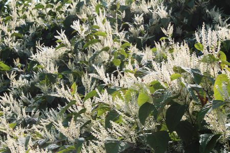 shooters: Sally rhubarb Japanese knotweed invasive species in autumn bloom