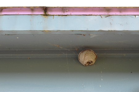 Tiny paper wasp nest attached to the eave of an old house