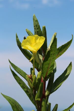Common evening primrose American wildflower yellow bloom
