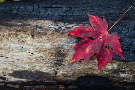 Charred log from forest fire with red leaf and space for text, horizontal aspect