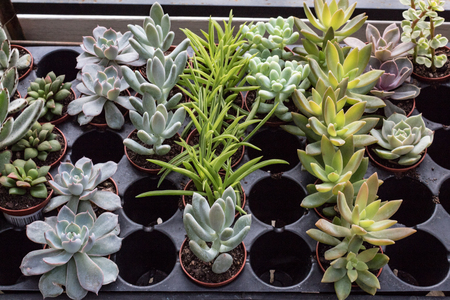 Rows of potted succulents in a windowsill, horizontal aspect