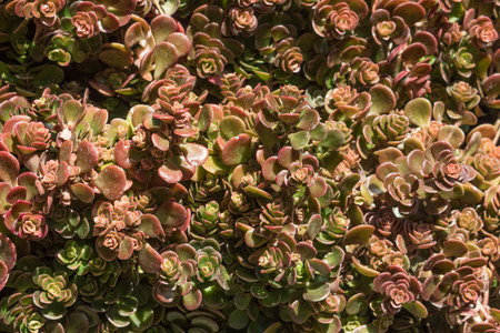 Background of rounded succulent leaves in red and green, tightly bunched in rosettes, horizontal aspect