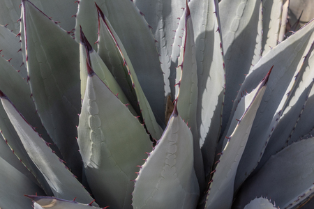 Agave Americana close view leaves botanical background, horizontal aspect