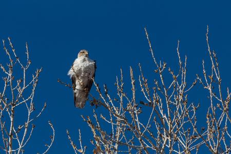 Bosque del Apache New Mexico, Ferruginous Hawk Buteo regalis, early sun against a vivid blue sky, horizontal aspect