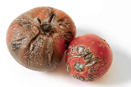Pair of rotten tomatoes, dried and cracked skins, isolated on white, horizontal aspect 版權商用圖片