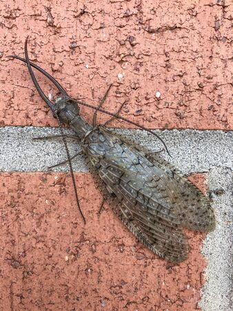 Dobsonfly Corydalus cornutus, very large  scary bug insect on brick wall background, vertical aspect