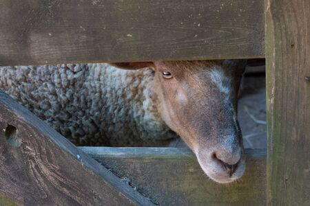 Face of a sheep, nose through opening in an old wooden gate, bucolic rustic scene, horizontal aspect