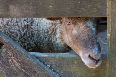 Sheep peering through opening in a gate, rustic farm scene, horizontal aspect Stok Fotoğraf