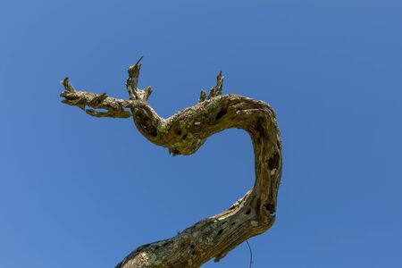 Twisted driftwood branch, checked wood and moss, isolated against a blue sky, abstract background, horizontal aspect