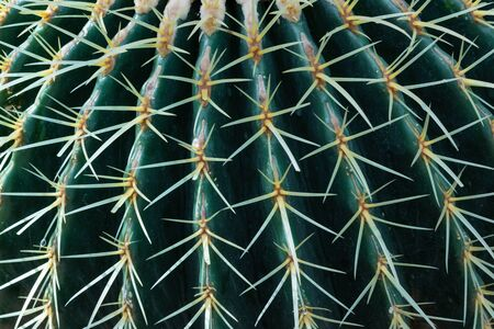 Close view of a barrel cactus ribs and spines, abstract nature background texture, horizontal aspect