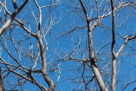 Golden Rain Tree, Koelreuteria paniculata Sapindaceae against a clear blue sky in winter, horizontal aspect Stok Fotoğraf