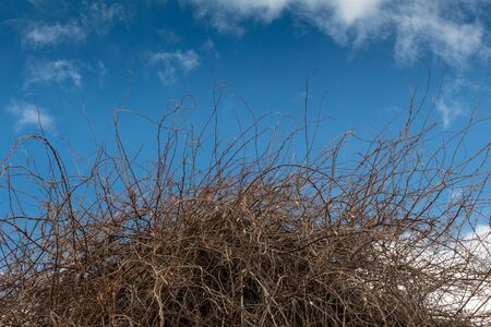 Thicket of dense branches and vines, twisted and arched, before a brilliant blue sky with wispy clouds, horizontal aspect Stok Fotoğraf