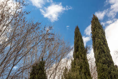 Pointed cedar trees and bare branches against a clear blue winter sky with white clouds, horizontal aspect Stok Fotoğraf