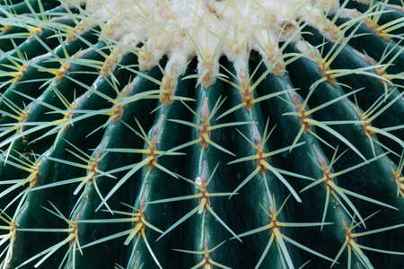 Blue green barrel cactus with serrated spikes in radiating ribs, nature background, horizontal aspect