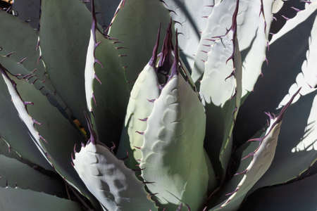Agave parryi succulent desert plant with pale green leaves and purple spines, horizontal aspect