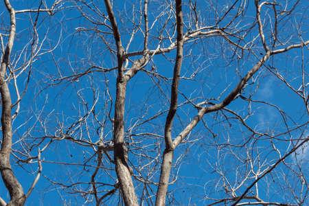 Golden Rain Tree Koelreuteria paniculata Sapindaceae bare branches against a deep blue sky, winter season background image, horizontal aspect