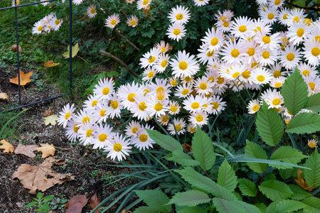 Decorative plant border with late season daisies, autumn leaves, horizontal aspect