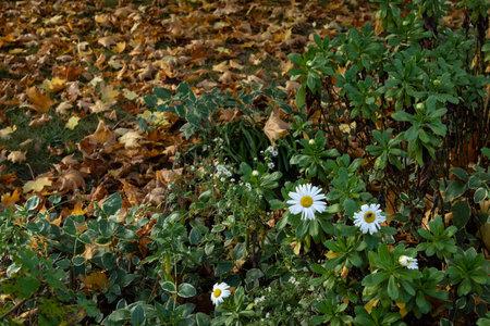 Late season daisies alongside brown fall leaves, creative nature background with copy space, horizontal aspect 版權商用圖片