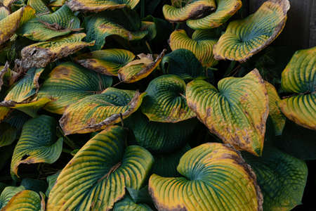 Close view of deeply ridged late season hosta leaves turning from green through yellow to brown, horizontal aspect