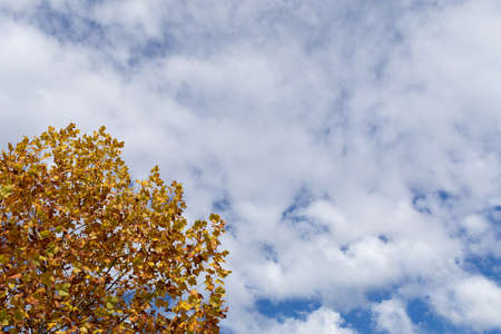 Sycamore tree with yellow, brown, and green leaves in fall against a blue sky with clouds, creative copy space, horizontal aspect 版權商用圖片