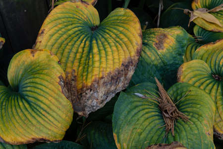 Fall season hostas, leaves in green and yellow turning brown and dying, horizontal aspect