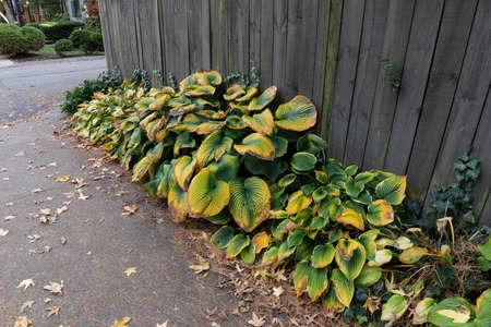 Sidewalk and wood fence with late season hostas, deeply savoyed leaves in rich shades of green and yellow, horizontal aspect