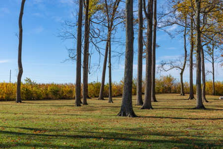 Grassy outdoor area with tall trees, autumn fall foliage, cornfield beyond, horizontal aspect