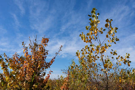 Small trees adorned with fall foliage in shades of green, orange, and yellow, vivid blue sky copy space, horizontal aspect