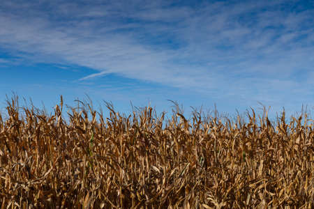 Field of standing dead corn, brown and gold foliage and stalks, blue sky copy space, horizontal aspect