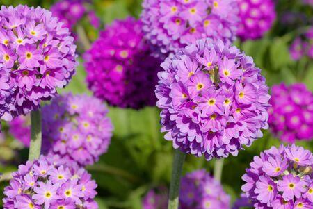 primula: Primula spring flower