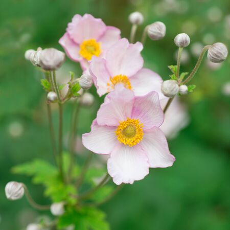 Japanese anemone in nature photo