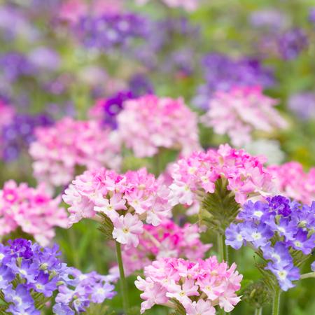 Verbena flower in nature Stock Photo