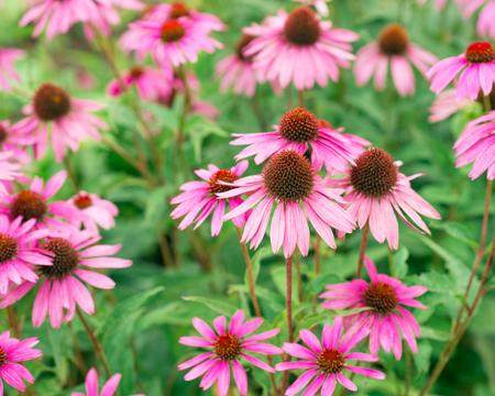 echinacea purpurea: Echinacea purpurea flowers