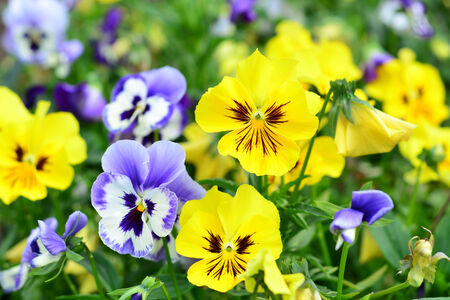 Flowers pansy photo