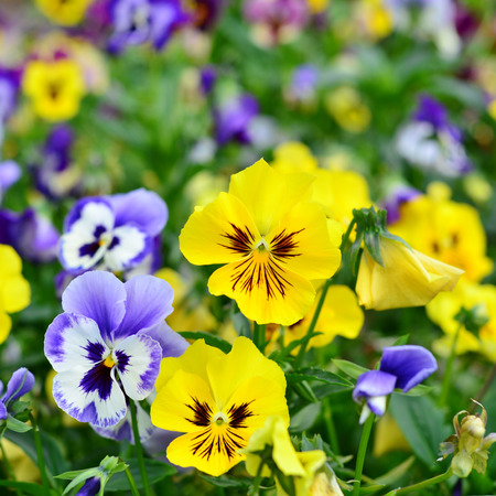 Viola Flowers pansy photo