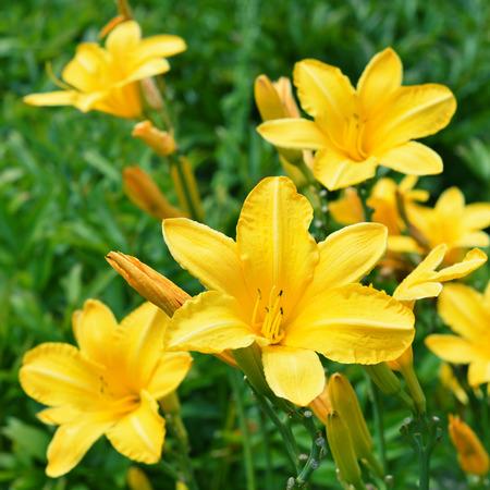Yellow Lily Flower Archivio Fotografico