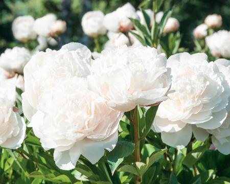 pfingstrosen: Wei�e Blumen von Pfingstrosen Lizenzfreie Bilder