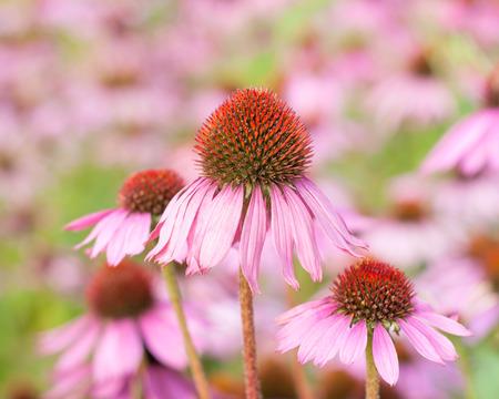 echinacea purpurea: Fiori Echinacea purpurea in giardino